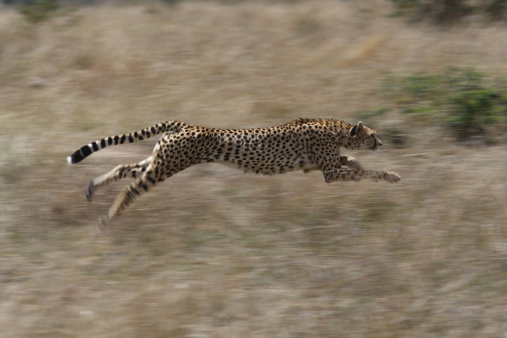 A cheetah at full pace on a hunt, this female cheetah was chasing a Thompson gazelle across the grasses of the Masai Mara, Kenya