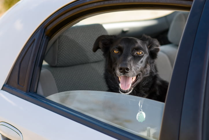 A border collie with collar and tags in the back seat of a car...possible heat exhaustion and cruelty themes.