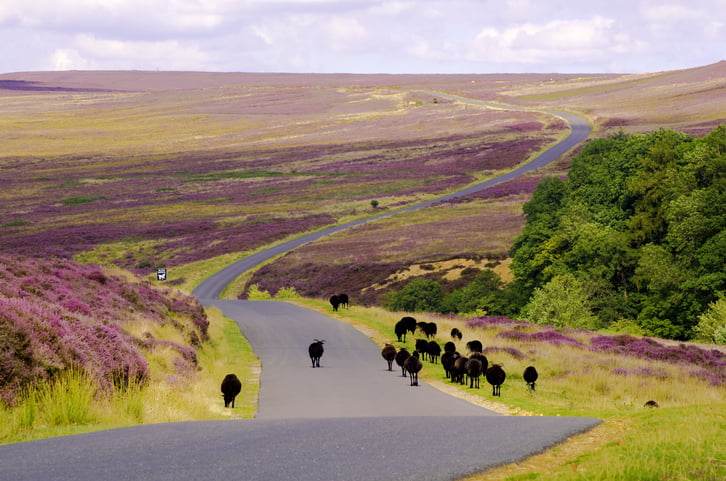 Black Sheep walking down the road over the North York Moors