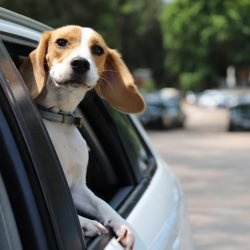 Beagle Dog having a joyride in the car backseat