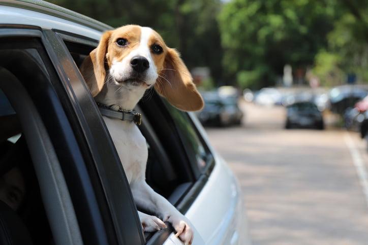 Beagle Dog having a joyride in the car backseat