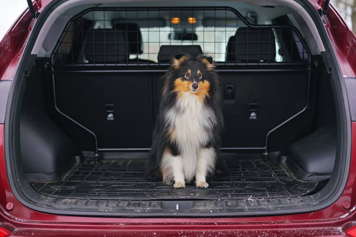 Young tricolor Sheltie dog sitting outdoors in a car trunk in winter.